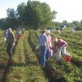 Воспитанники православной гимназии собирали на приходском поле картошку